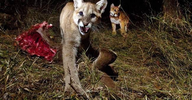 Camera catches mountain lion kittens feeding
