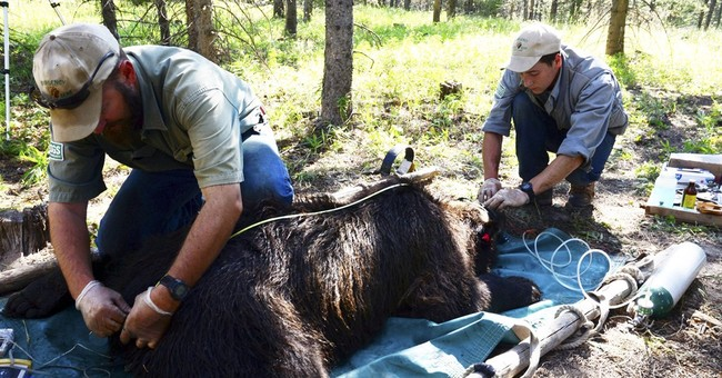 Researchers: Yellowstone grizzlies not in decline