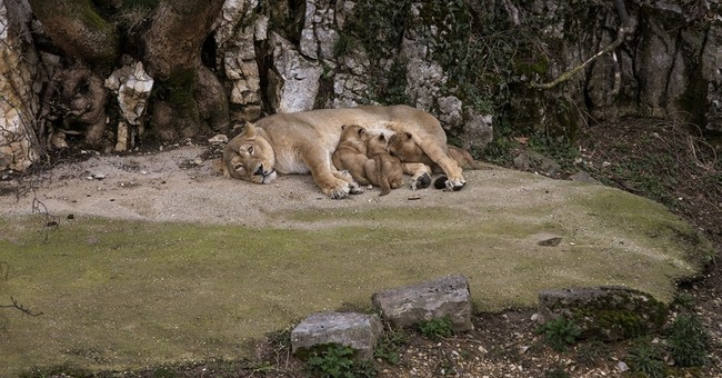 Cautiously, French zoo shows off rare lion cubs