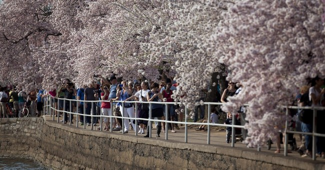 DC cherry blossoms predicted to bloom April 8-12