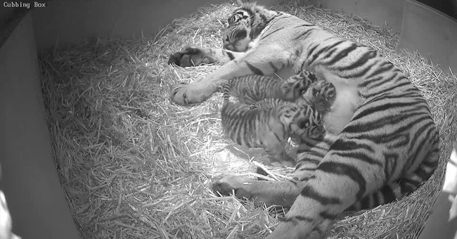 Endangered tiger cub triplets born in London