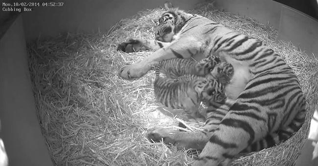 Endangered tiger cub triplets born in London