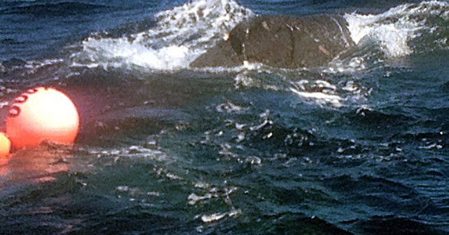 Hawaii officials looking for entangled whale