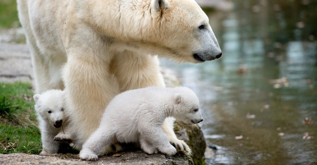 German zoo's polar bear twins make public debut
