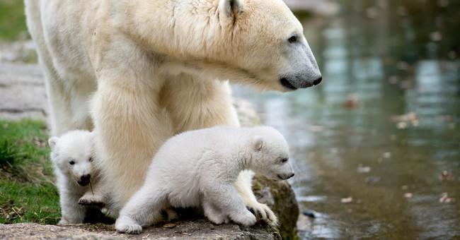 German zoo's polar bear twins make public debut