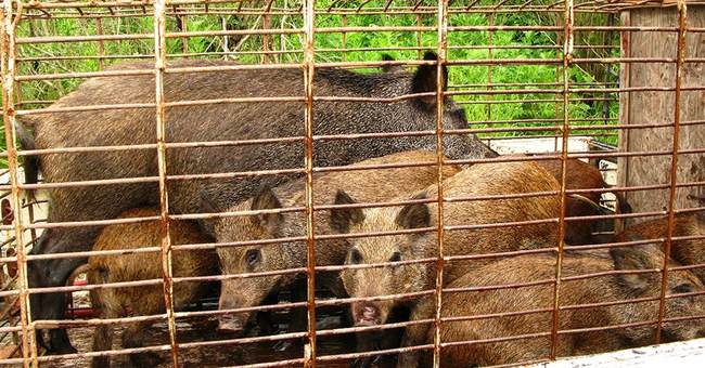 Good News: No License Needed To Kill Feral Hogs In Texas Starting Sep. 1