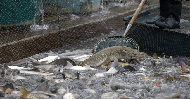 Ap photos catching carp means christmas is coming ap for What does carp mean