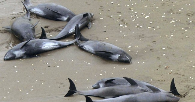 About 150 dolphins stranded on beach in Japan