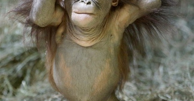 Orphaned baby orangutan makes debut at Utah zoo