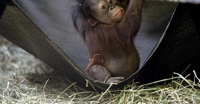 Orphaned baby orangutan makes debut at Utah zoo
