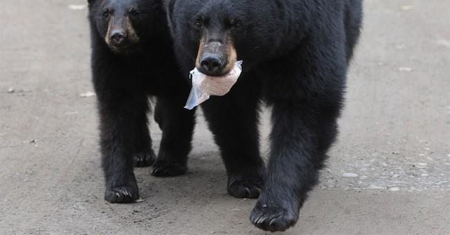 Black bear family roams Alaska neighborhood looking for food