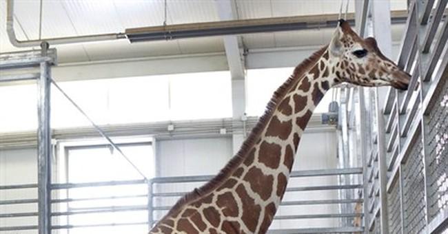 Giraffe cam at Dallas Zoo shows birth of new calf