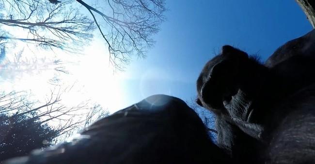 Chimp Tushi turns drone-buster in Dutch Burgers' Zoo