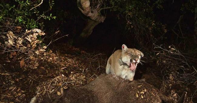 Elusive mountain lion captivates LA then quickly vanishes