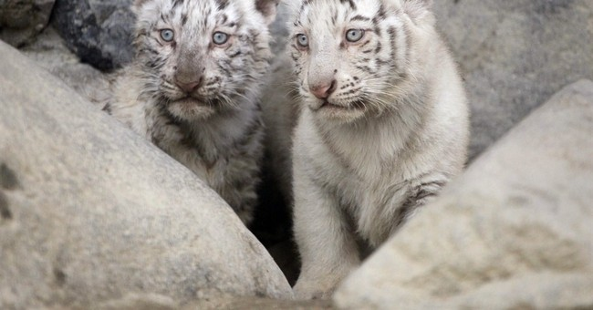 Image of Asia: Curious cubs climb, bite, snarl in zoo debut