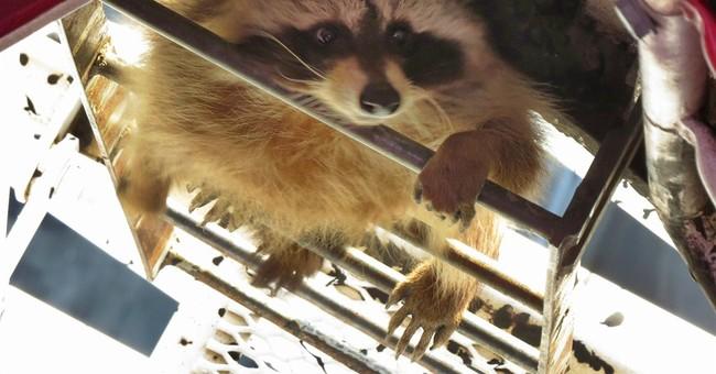 Adventurous raccoon makes 58-story climb up Toronto crane