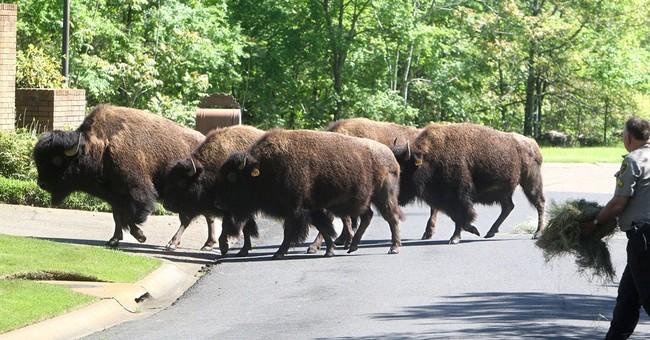 Buffalo herd roams Arkansas city neighborhoods