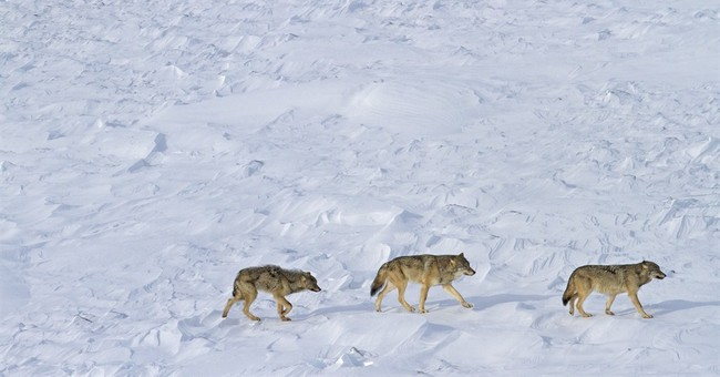 Scientists: 3 wolves remain at Isle Royale National Park