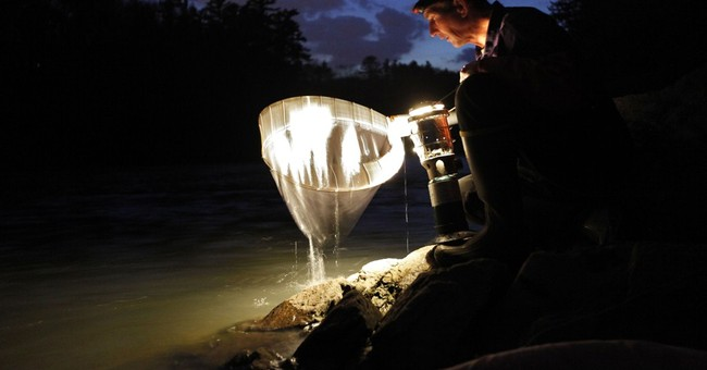Slow start to elver season means high price for baby eels