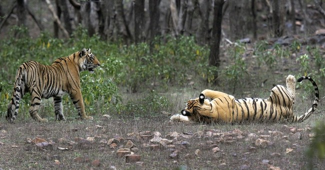 India's rising tiger numbers may be victory only on paper