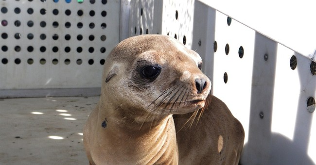 Police: Seal or sea lion pup abducted from Los Angeles beach
