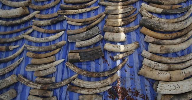 Thailand seizes 4 tons of elephant tusks smuggled from Congo