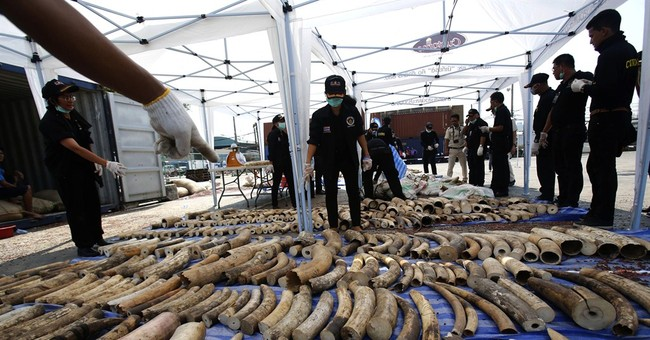Thailand seizes 4 tons of elephant tusks smuggled from Congo