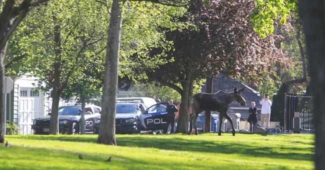 Loose moose munching on leaves in Idaho park gets captured