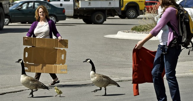 Residents help guide geese out of downtown Montana city