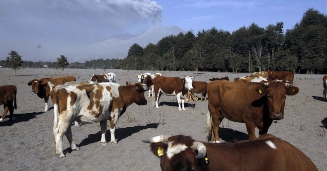 Chileans brace for volcano's impact on livestock, farming