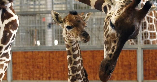 Dallas Zoo giraffe whose birth was seen online named Kipenzi