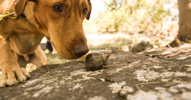 2 dogs from Texas sniff out snails in Ecuador's Galapagos