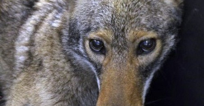 Coyote collared after lower Manhattan police chase