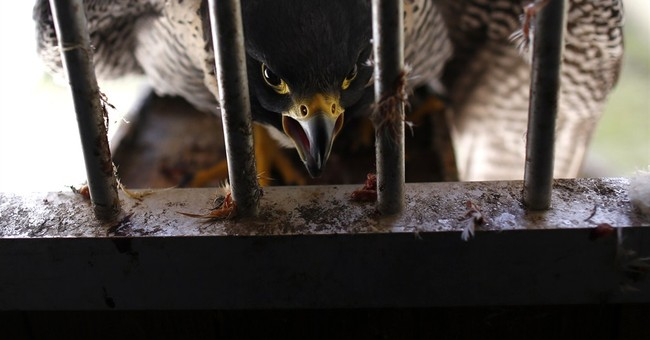 AP PHOTOS: Serbs breed, train falcons for buyers in UAE