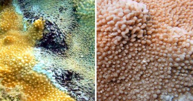 Black band coral disease continues to affect Kauai reefs