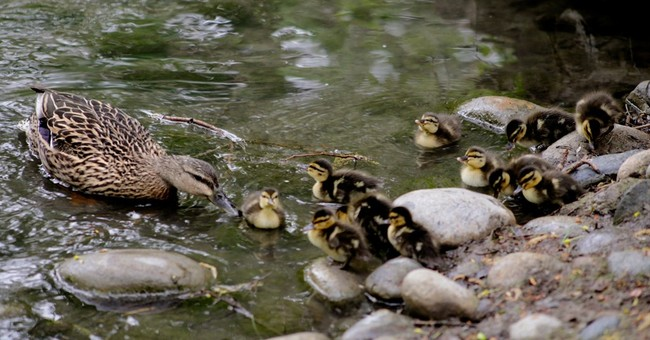 Mother duck, brood waddle through school on trek to new home