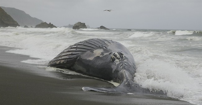 Ship may have hit whale found washed up near San Francisco