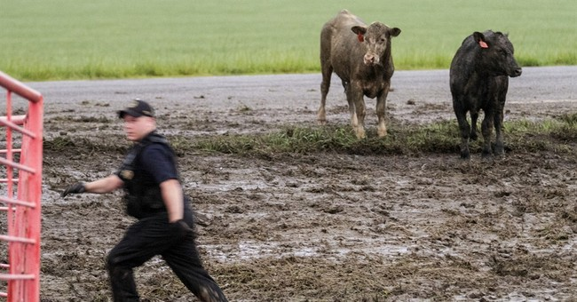 Cowboys round up cattle after semi overturns on highway