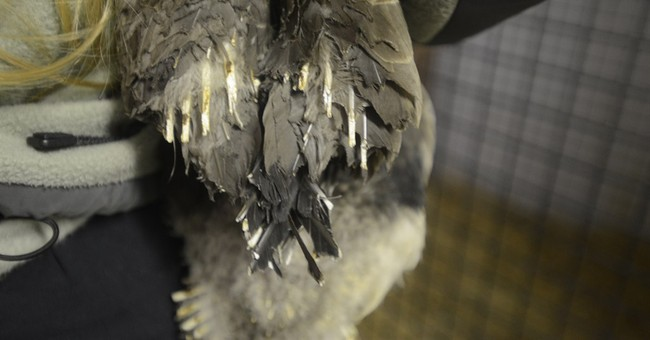Canada goose recovering after cigarettes spark fire in nest