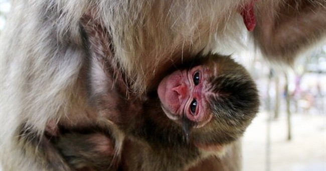 No offense to royals: Monkey in Japan keeps name Charlotte