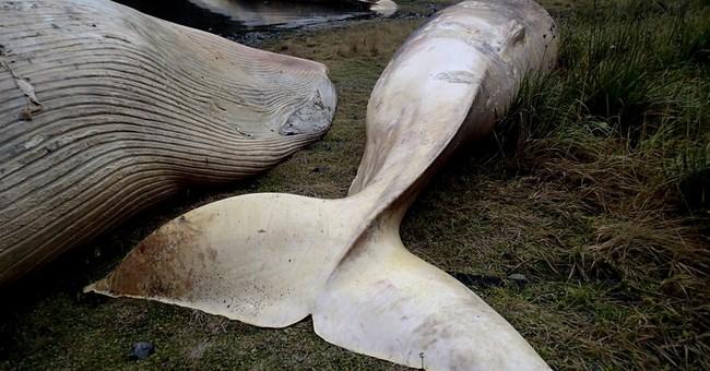 A few dozen sei whales beached along south Chilean coast