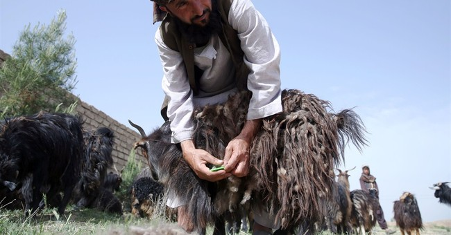 Afghanistan's goat farmers find luxury niche in cashmere