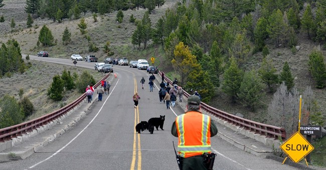 Video shows mother bear rushing at tourists in Yellowstone