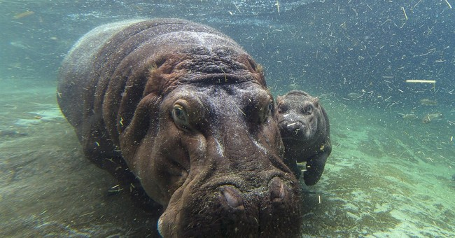 It's a girl! Zoo finds baby hippo's gender after 7 weeks