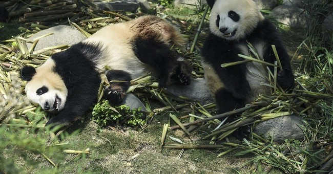10 Chinese arrested for killing giant panda, selling parts
