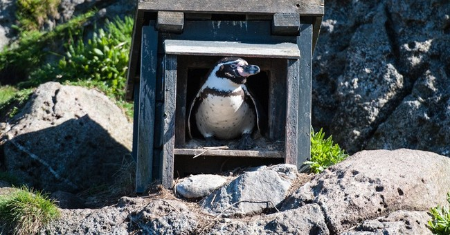 Norwegian police suspect 4 in penguin theft from animal park