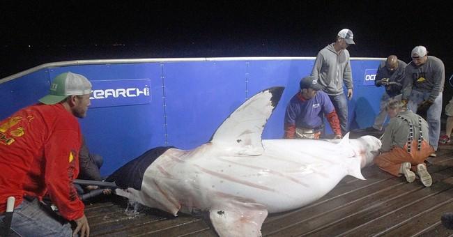 Great white shark cruising East Coast becomes Twitter star