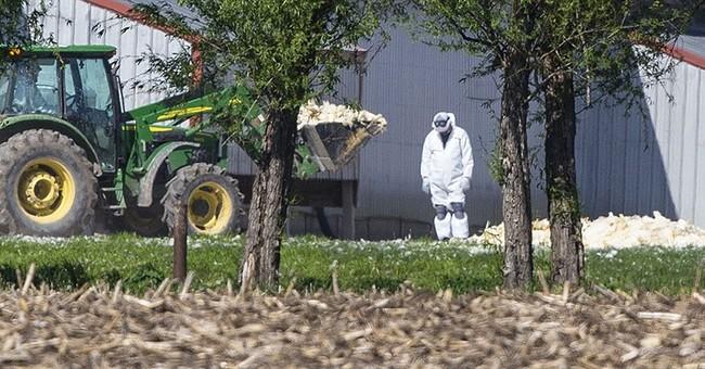 Bird flu could cost nearly $1 billion in Minnesota and Iowa