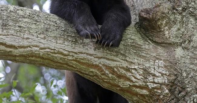 Scared bear spends week in central Louisiana neighborhood
