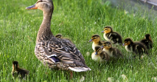 Dubuque worker rescues 10 ducklings from storm drain